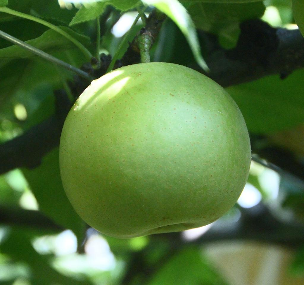 580 二十世紀梨(訳あり(3キロ)やぶやフルーツガーデン)