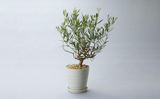 030M36 盆栽に仕立てるオリーブの木[髙島屋選定品]