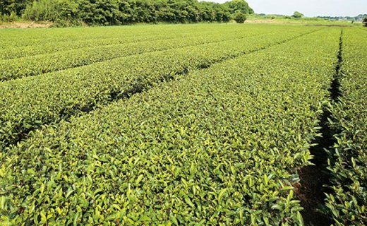 【CF】鹿児島茶【緑茶】100g×2袋