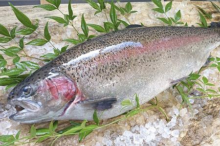 【2609-0143】栃木県のブランド魚「プレミアムヤシオマス」丸1尾 新鮮 活け締め