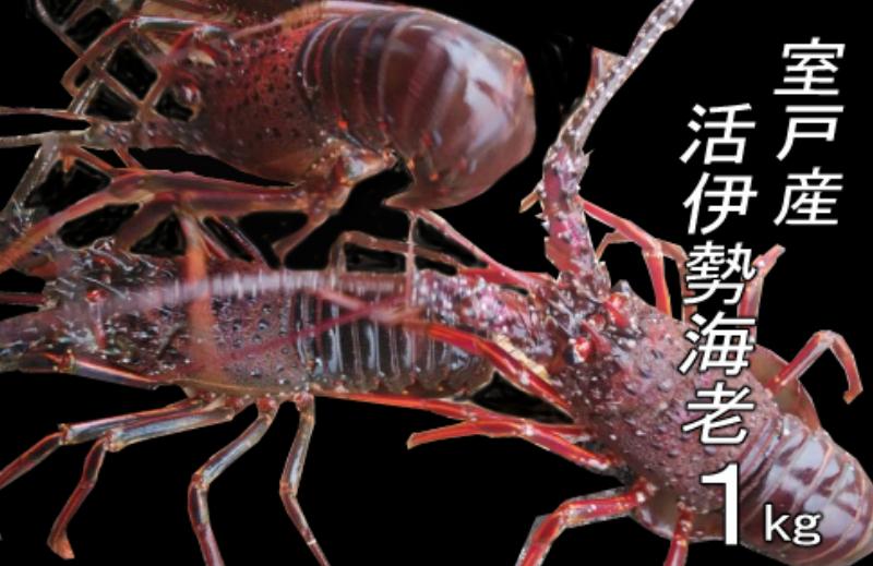 UM044室戸産活伊勢エビ1kg