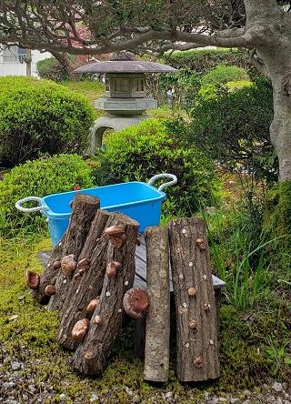 椎茸の原木栽培2夏経過品