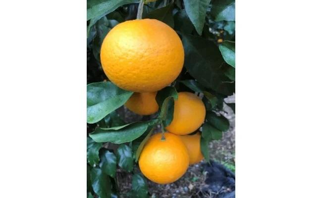 AE6019_黒潮が育てた【清見オレンジ】サイズ混合(SS~3L)約5kg家庭用