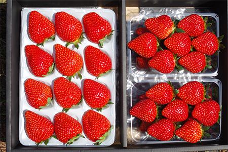 【2609-0150】[数量限定] 年末年始にお届け!贅沢な栃木のいちご食べ比べセット