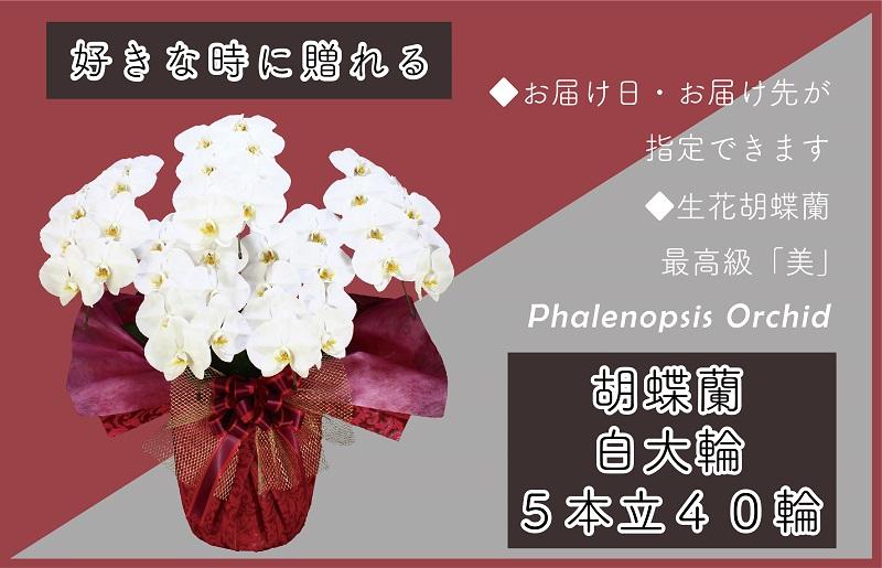 099H384 5本立て白色胡蝶蘭40輪~50輪