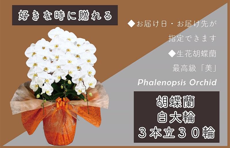099H379 3本立て白色胡蝶蘭30輪~33輪