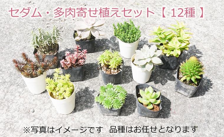 BS077_セダム&多肉寄せ植えセット 花 苗 植物 家庭菜園 花壇 プランター ガーデニング