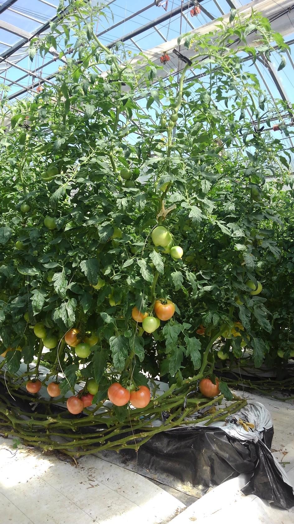 288 有田産の大粒トマト