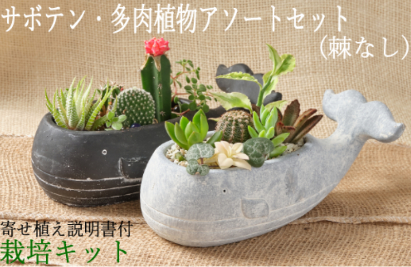 SH004サボテン多肉植物の小苗アソートセットWーS(棘なし) 寄せ植え説明書付
